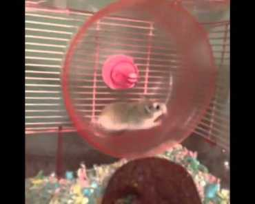 Funny Things | Funny Videos | HILARIOUS HAMSTER WHEEL FAIL VINE! - funny things funny videos hilarious hamster wheel fail vine