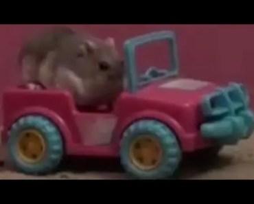 funny video animal, toby hamster pranks - funny video animal toby hamster pranks