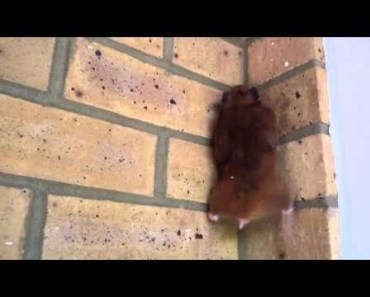 Hamster climbing stairs | Funny Hamster | Hamster Cute Pets | Pets - hamster climbing stairs funny hamster hamster cute pets pets