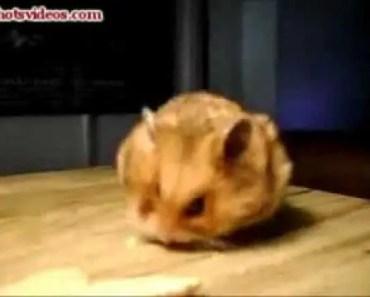 Hamster eating cookies funny - hamster eating cookies funny