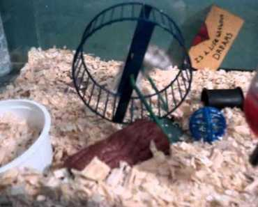 Hamster Squeak Learns to use the Wheel Funny!! - hamster squeak learns to use the wheel funny