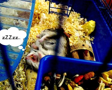 Hamster's Funny Sleeping Position - hamsters funny sleeping position