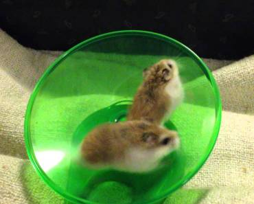 Hamsters Running and Spinning On Wheel - Very Funny - hamsters running and spinning on wheel very funny
