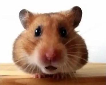 Happy Birthday to You! - Funny Birthday Songs (Waddles the Hamster) - happy birthday to you funny birthday songs waddles the hamster