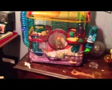 Syrian teddy bear hamster is so funny - syrian teddy bear hamster is so funny