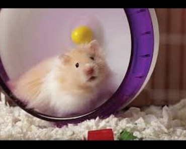 Video collection of funny hamster spinning - video collection of funny hamster spinning