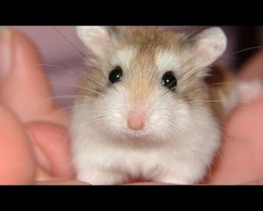 Funny Hamsters - A Cute And Funny Hamster Videos Compilation 2017 - 1507676903 funny hamsters a cute and funny hamster videos compilation 2017