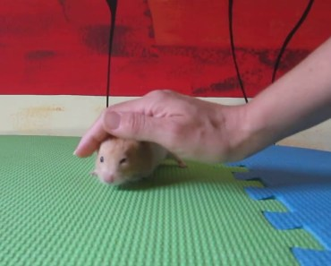 A cute hamster eating Almonds - a cute hamster eating almonds
