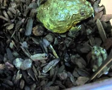 African Bullfrog eat hamster 2 - african bullfrog eat hamster 2
