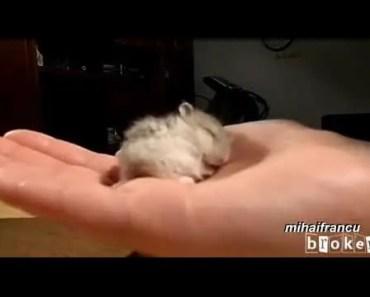 Baby Hamster Snoring (Bayi Hamster Ngorok) - baby hamster snoring bayi hamster ngorok