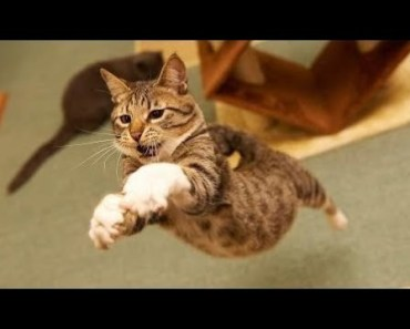Cats Jumping Most Funny Jumping Cats Fail - Funny Cats Jumping and Missing Video Compilation - cats jumping most funny jumping cats fail funny cats jumping and missing video compilation