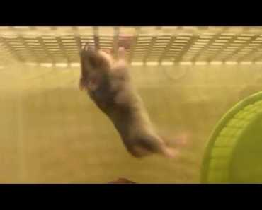CHOMIK hamster climbing funny bodybuilding :) - chomik hamster climbing funny bodybuilding