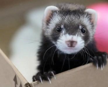 Cute Ferrets Videos Compilation - cute ferrets videos compilation