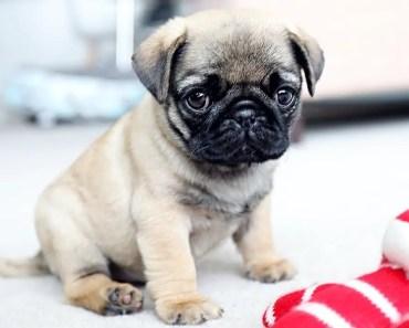 Cutest Pug Puppies! - cutest pug puppies