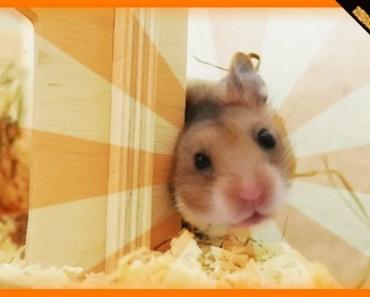 Die Toilettenfrage | Hamster Fred Vlog #01 - die toilettenfrage hamster fred vlog 01
