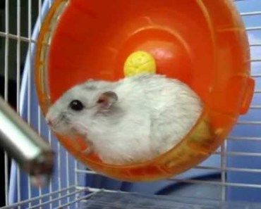 Fastest and funny hamster in the wheel - fastest and funny hamster in the wheel