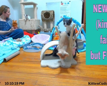 Foster mom Sarah visits her foster kittens, & attempts to use the Talking Hamster! 10/12/17 - foster mom sarah visits her foster kittens attempts to use the talking hamster 101217