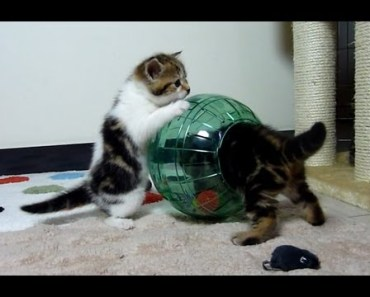 Funny cats. Kittens preparing to Mars in Hamster Ball - funny cats kittens preparing to mars in hamster ball