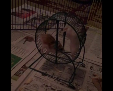 Funny Dwarf Hamster Fail - funny dwarf hamster fail