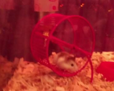 Funny dwarf hamster video - funny dwarf hamster video