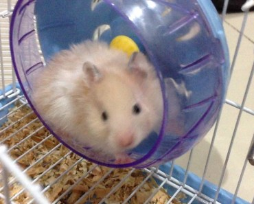 Funny hamster (hamster gangster) - funny hamster hamster gangster