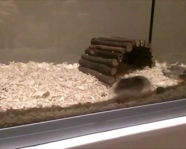 funny hamster video - funny hamster video