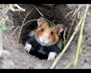 Funny Hamsters A Cute And Funny Hamster Videos Compilation 2017 - funny hamsters a cute and funny hamster videos compilation 2017