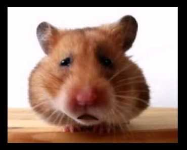 Funny Mother's Day Song (Waddles the Hamster) - funny mothers day song waddles the hamster