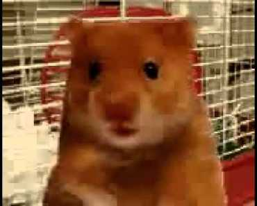 Funny swearing hamster - Harry the hamster - funny swearing hamster harry the hamster