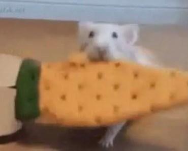 HAMSTER FAIL-VERY FUNNY - hamster fail very funny