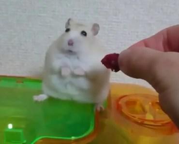Hamster Feels Betrayed - hamster feels betrayed
