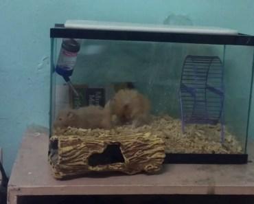 Hamster mating - hamster mating