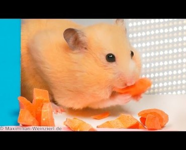 hamster stuffing cheeks – storing food. Cute! - hamster stuffing cheeks storing food cute