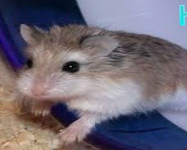 Hamster Trying to kill him self [So Funny and cute] - hamster trying to kill him self so funny and cute