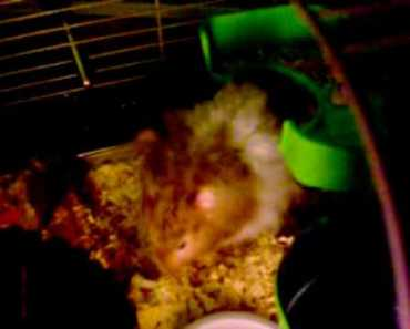 Hamster trys to get broccoli funny - hamster trys to get broccoli funny