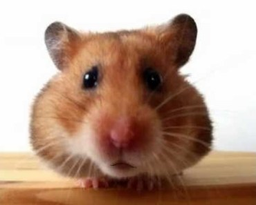 Happy Birthday to You - Waddles the Hamster - happy birthday to you waddles the hamster