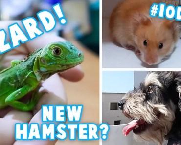 Holding Baby Iguanas | Iodine Updates | New Hamster? - holding baby iguanas iodine updates new hamster