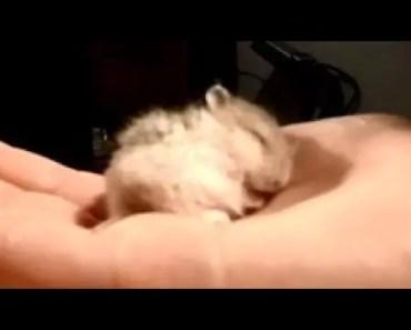 My Baby Hamster Snoring CUTE -2017 - my baby hamster snoring cute 2017