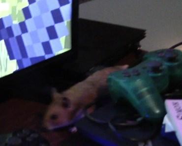 Pumpkin The Hamster On My Desk (Funny) - pumpkin the hamster on my desk funny