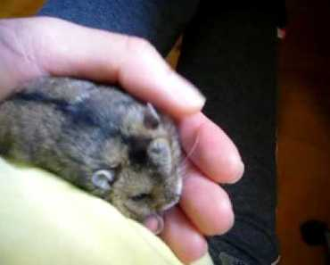 Putting a hamster to sleep video 1 - putting a hamster to sleep video 1
