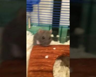 (Read description) Kiwi my Hamster - read description kiwi my hamster