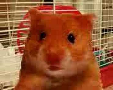 Scottish Hamster - scottish hamster