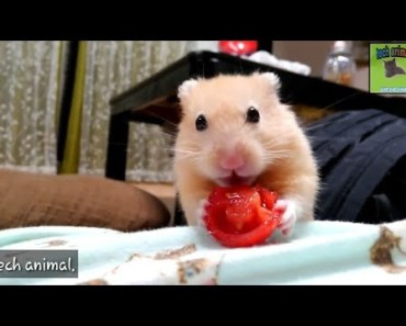The combination of tomato and funny hamster is too cute - the combination of tomato and funny hamster is too cute