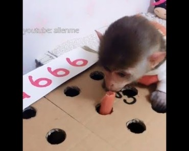 The little monkey plays the hamster game to train his reaction ability - New funny animal video - the little monkey plays the hamster game to train his reaction ability new funny animal video