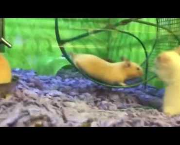 THE ULTIMATE HAMSTER FAIL / MUST SEE / SUPER FUNNY - the ultimate hamster fail must see super funny