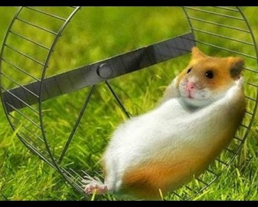 Top 10 Super Funny Hamsters in Wheels (No Gerbil Fillers) - top 10 super funny hamsters in wheels no gerbil fillers