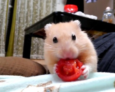Behavior of funny hamsters getting tired of carrots - 1510628950 behavior of funny hamsters getting tired of carrots