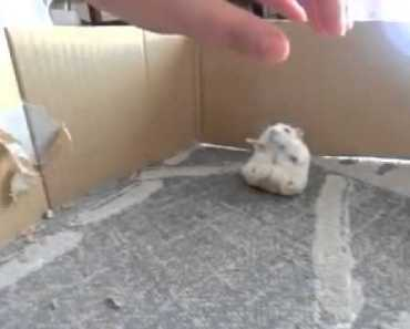 Adorable hamster attempts to walk on two legs - adorable hamster attempts to walk on two legs