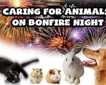 Caring For Pets On Fireworks Night | Pet Care Videos - caring for pets on fireworks night pet care videos