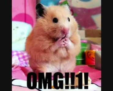 cute and funny hamsters to the hamster song.wmv - cute and funny hamsters to the hamster song wmv